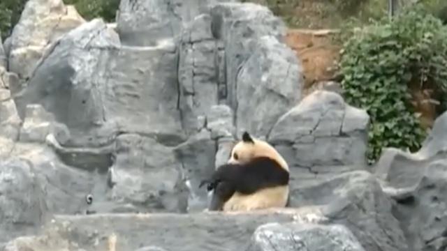 大熊猫洗澡,全程激萌