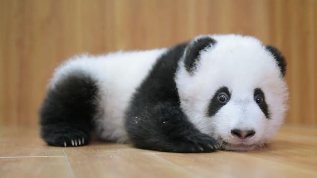 如何成为一个合格的熊猫饲养员