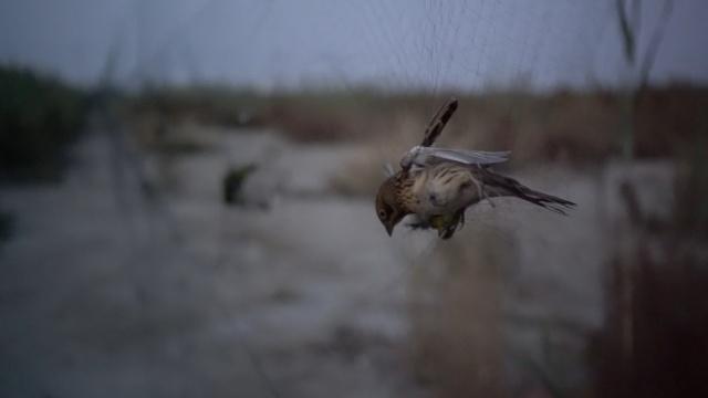 追问捕鸟网:1亩棉花不如捕鸟1天