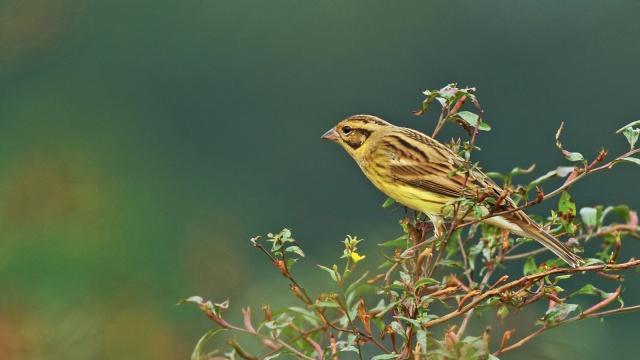 禾花雀:一种被吃成濒危的候鸟