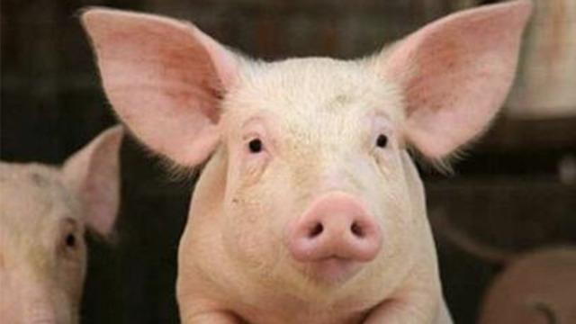 越南生猪走私:交钱走小道绕过边检