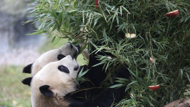 大熊猫也过圣诞!苹果竹子做圣诞树