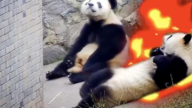 熊猫只会卖萌?不!它们战无不胜