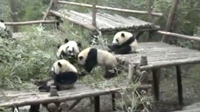 香港学生四川之旅:大熊猫最吸引我