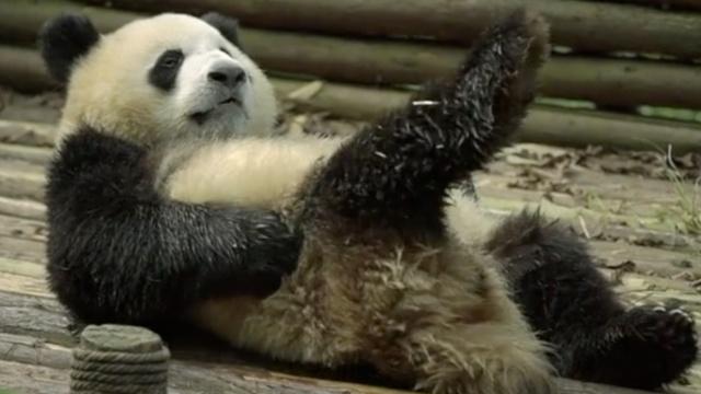 外媒曝中国拯救大熊猫秘方:看黄片