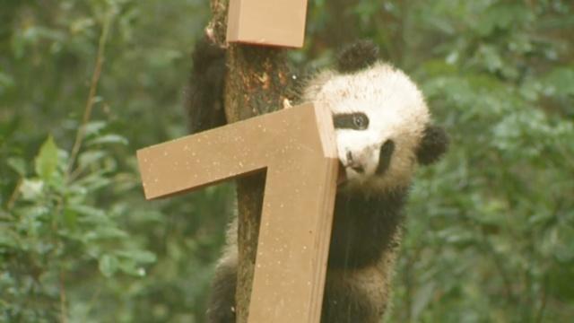 呆萌!8只熊猫宝宝首次露面拜新年