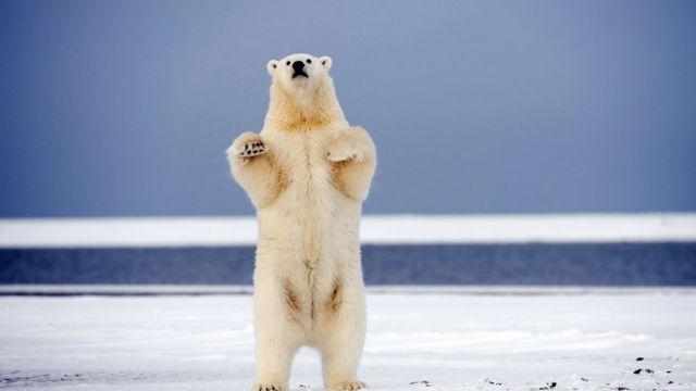 2017年第一场大雪,北极熊嗨翻天