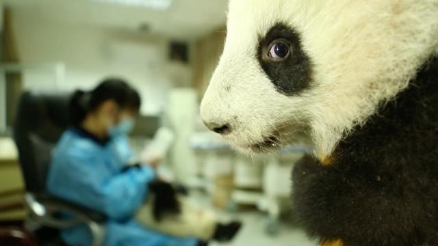 熊猫奶妈的日常 萌翻天!