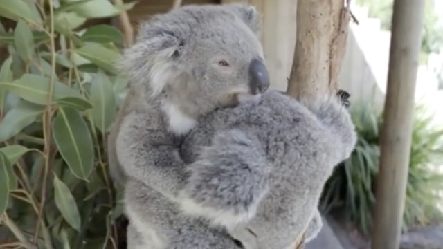 澳洲考拉相拥入眠,网友直呼太可爱