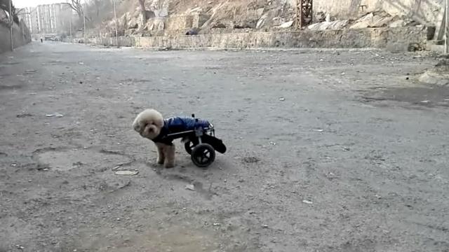 继续奔跑!小狗后腿麻痹,主人想这招