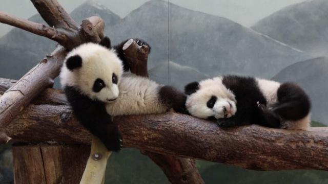 美国仅有的一对大熊猫双胞胎半岁啦