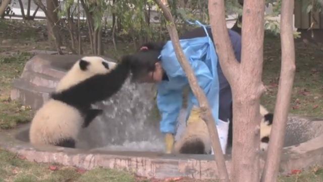 熊猫越狱群殴滚床单,咋不上天呢?