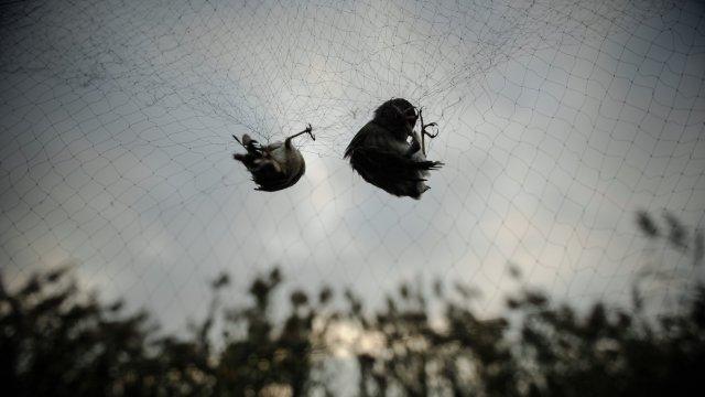 直播:候鸟悲歌,捕鸟网筑迁徙血色路