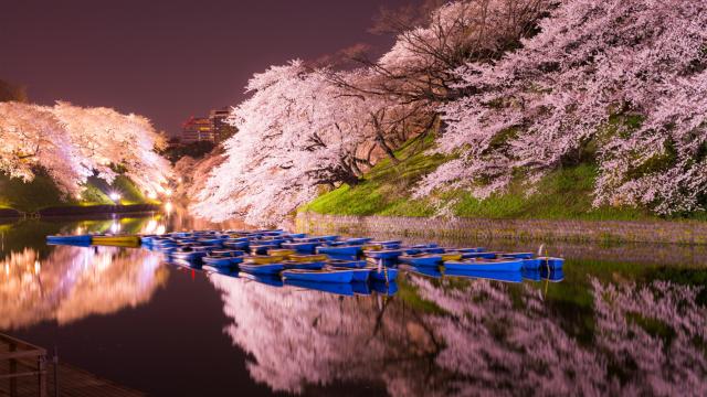 直播:最好的东京夜樱,仅这两天!