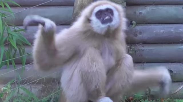 看见老鼠,这只长臂猿有点手忙脚乱