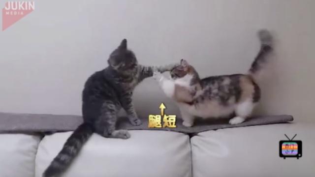 短腿猫猫打架,够不着好着急!