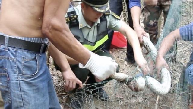 3米长蟒蛇闯山羊场,偷吃反被网困