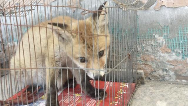 小狐狸被救后,嘤嘤嘤喝奶啃饼干