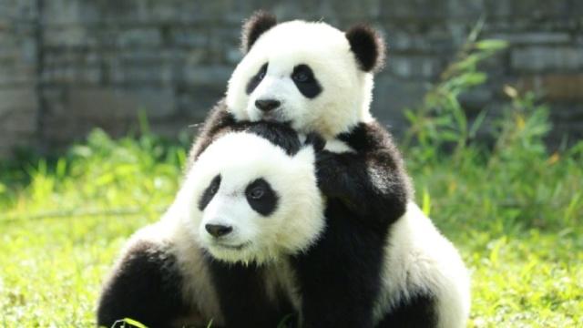 国际熊猫节的主角到底是不是熊?