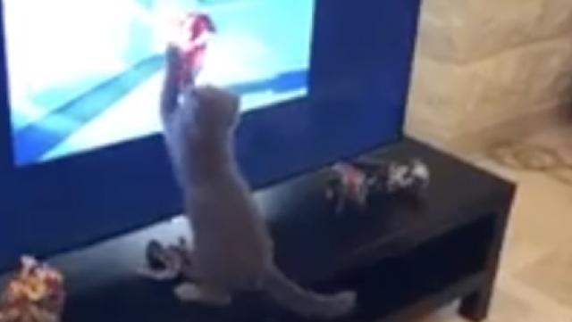 小猫看动画入迷,要冲进电视抓老鼠