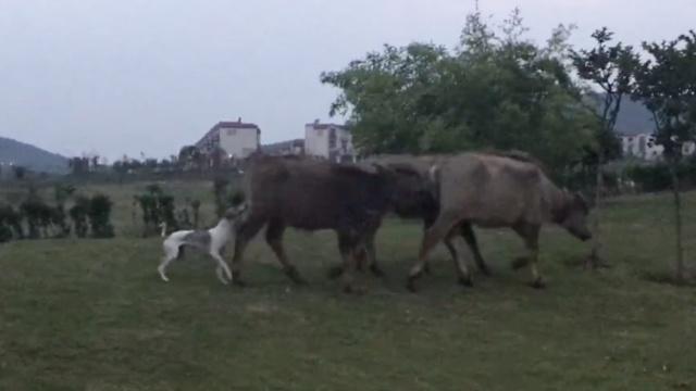 这狗比牛还牛!追牛狂奔,吻牛屁股