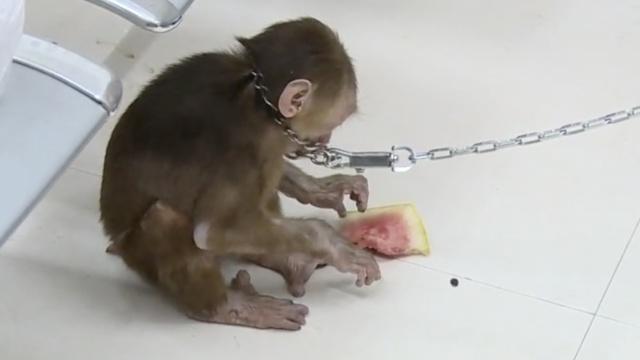 短尾猴误闯居民区,上蹿下跳还卖萌