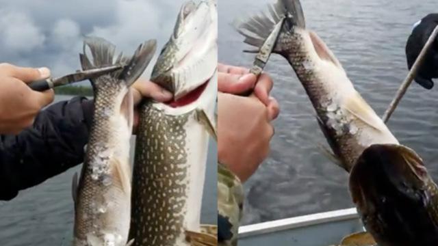 他钓起一条鱼,还从鱼嘴里拽出一条