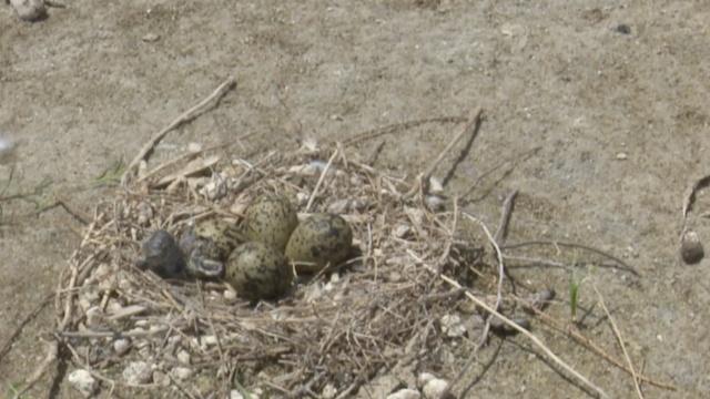 实拍长腿鹬幼鸟出壳:刚孵出就爬行