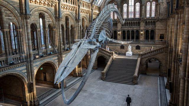 蓝鲸换恐龙,英自然博物馆正厅换岗