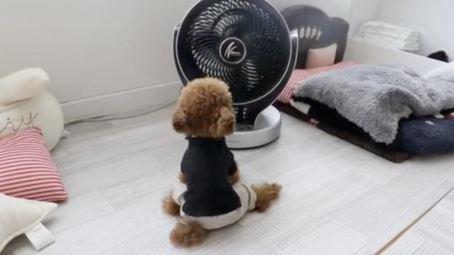 狗狗抱着电扇不撒手,铲屎官热成狗