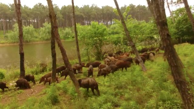 百头野猪不怕人,大摇大摆丛林游
