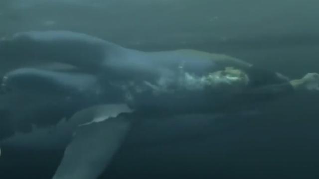 人鲨大战!菲尔普斯2秒败给大白鲨