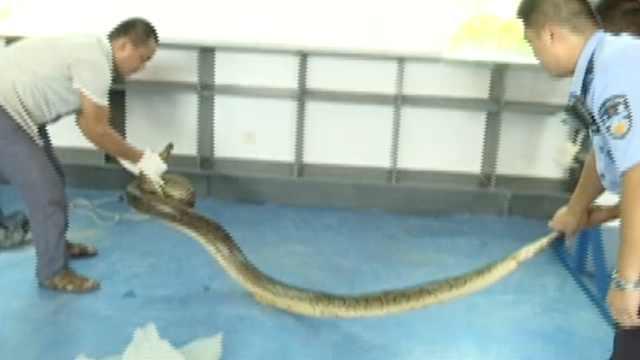 4米蟒蛇突然窜出,咬伤茶园作业农妇