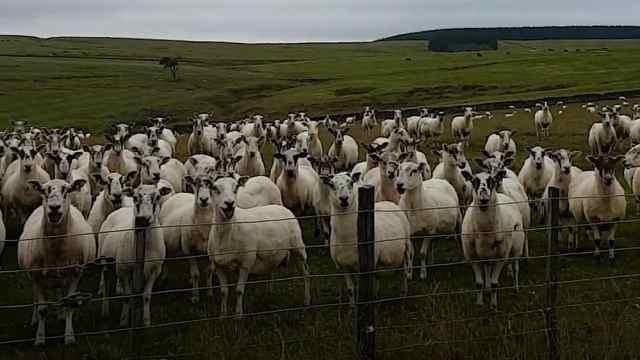 这就是一呼百应?羊群们太配合了吧