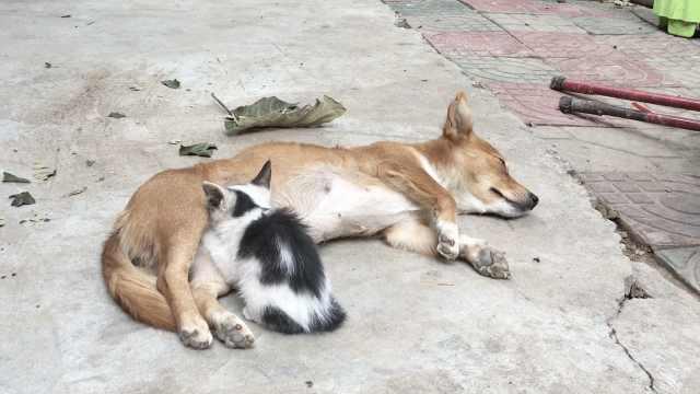 猫咪吃狗奶情同母子,狗妈妈超有爱