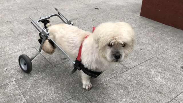 狗狗瘫痪大爷不弃,装上轮椅天天遛