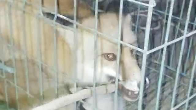 狐狸误闯民居,被狗撵上窗台下不来