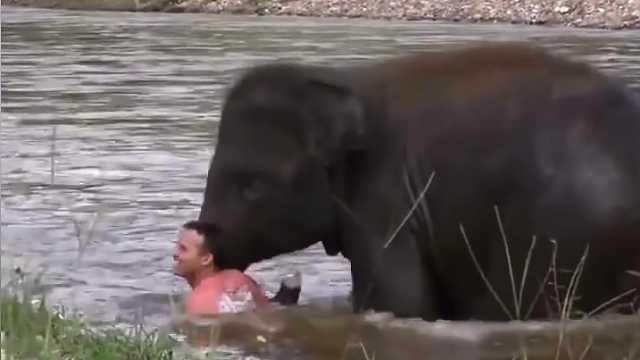男子游泳,大象以为落水迅速施救