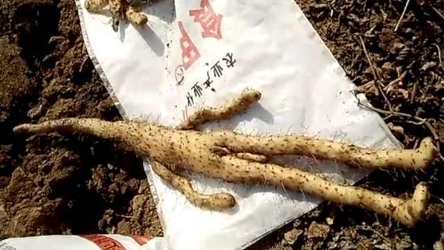 农民挖出人形山药?四肢齐全男儿身