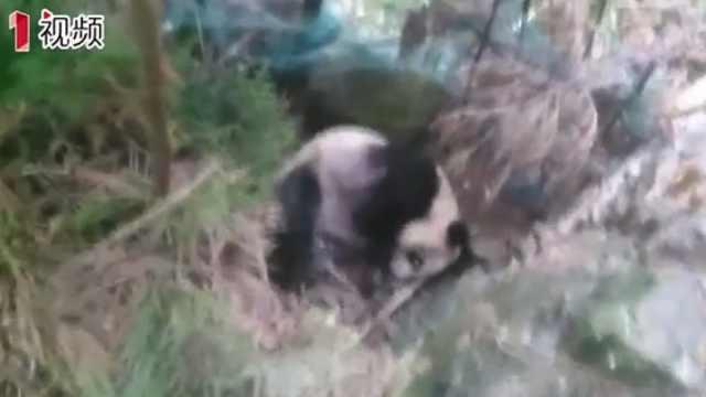 """一患病大熊猫跑进村民家""""求救"""""""
