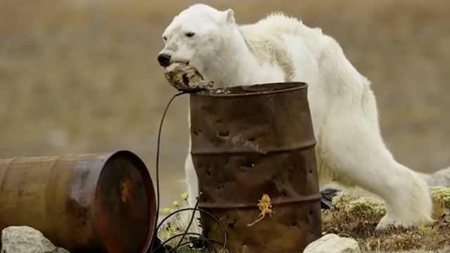 小北极熊宝宝_萌到没脾气!小北极熊被海狮吓滚_时差视频-梨视频官网-Pear Video