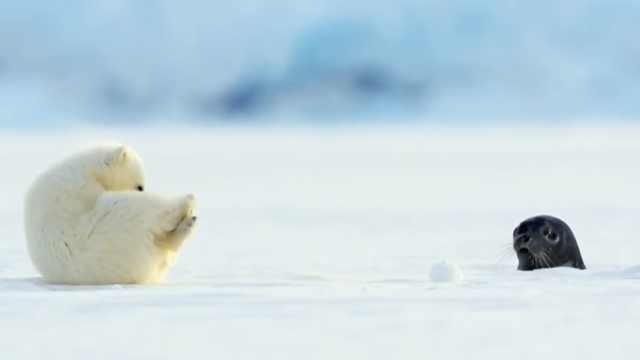 萌到没脾气!小北极熊被海狮吓滚