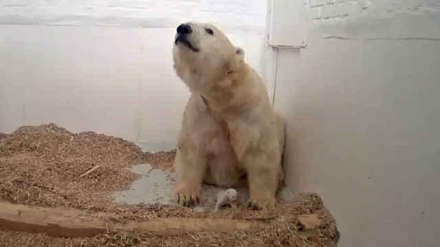 小北极熊26天夭折,疑妈妈奶水不足