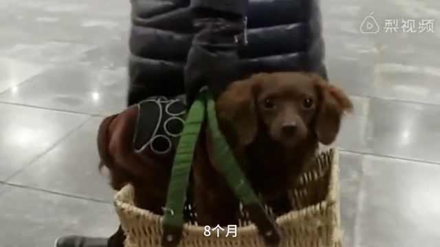 好萌!狗狗躺篮子,像朵西兰花