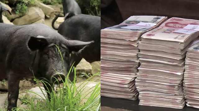 65户共领50万!村民林下养猪获分红