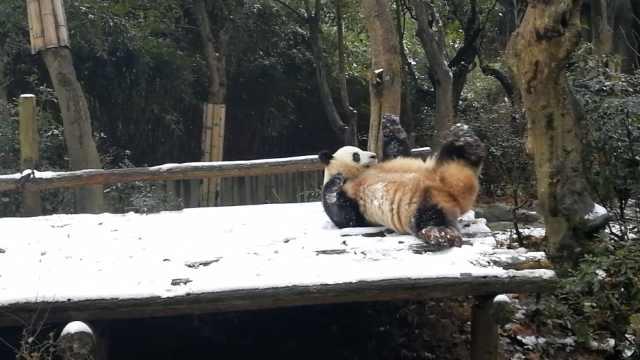 见到大雪乐坏了!熊猫雪地倒立打滚