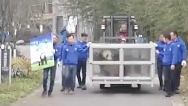 中国2大熊猫将赴芬兰,正好赶上玩雪