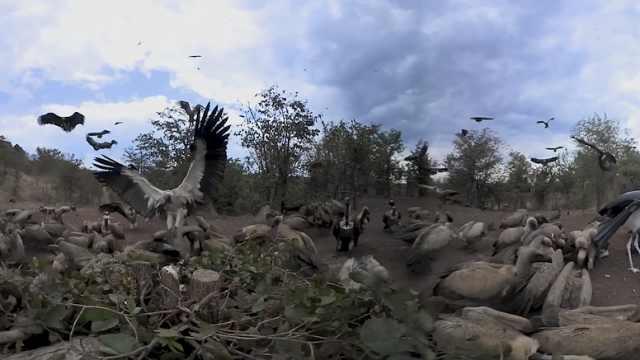 恐怖!360°视频看数百秃鹰聚集抢食