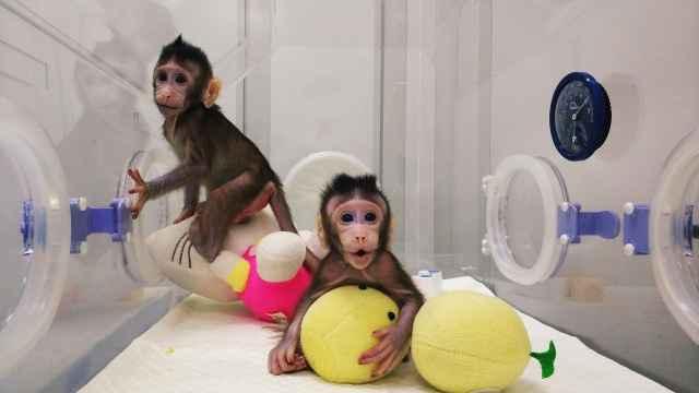 克隆猴诞生,中科院:没必要克隆人