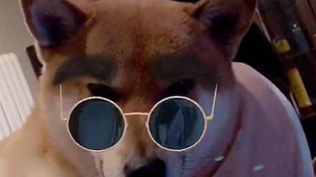 柴犬被主人用美颜相机玩坏了!